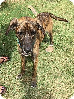Greyhound/Hound (Unknown Type) Mix Dog for adoption in Harrisonburg, Virginia - Marley  (ETAA)