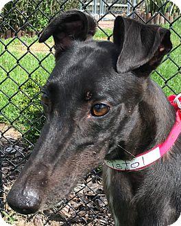 Greyhound Dog for adoption in Longwood, Florida - Odd Bristol