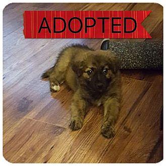 Pomeranian/American Eskimo Dog Mix Puppy for adoption in Regina, Saskatchewan - Elvis