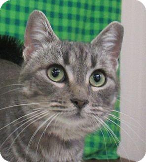 Domestic Shorthair Cat for adoption in Lloydminster, Alberta - Deb