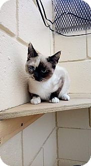 Siamese Kitten for adoption in San Diego, California - Capucchina