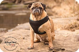 Pug Dog for adoption in Grapevine, Texas - Rocky Balboa