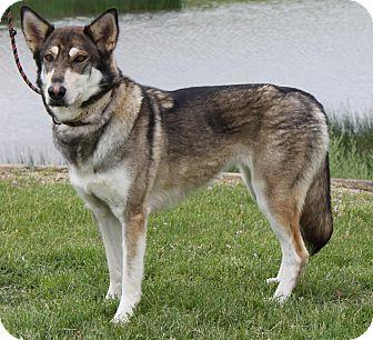 German Shepherd Dog/Alaskan Malamute Mix Dog for adoption in Staunton, Virginia - Shawnee