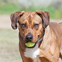 Adopt A Pet :: Hemi - Washoe Valley, NV