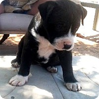 American Pit Bull Terrier Puppy for adoption in West Los Angeles, California - Litter of Nine