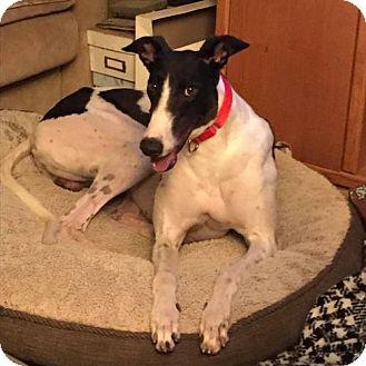 Greyhound Dog for adoption in Independence, Missouri - Melvin