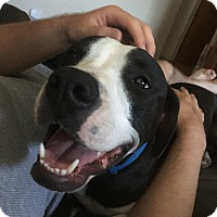 American Pit Bull Terrier Dog for adoption in Denver, Colorado - Jackson