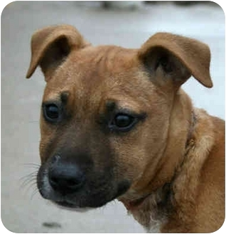 Boxer/Pit Bull Terrier Mix Puppy for adoption in kennebunkport, Maine - Sunny-ADOPTED!