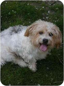 Poodle (Miniature) Mix Dog for adoption in Plainfield, Illinois - Goliath