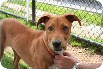 Labrador Retriever/Hound (Unknown Type) Mix Dog for adoption in Islip, New York - Sage