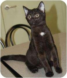 Domestic Shorthair Kitten for adoption in Dayton, Ohio - Lou