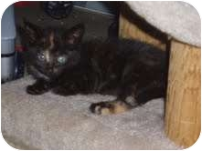 Domestic Shorthair Kitten for adoption in Medford, Massachusetts - Cherryfall & Ravenpaw