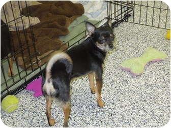 Chihuahua Dog for adoption in Washington, Pennsylvania - Tess