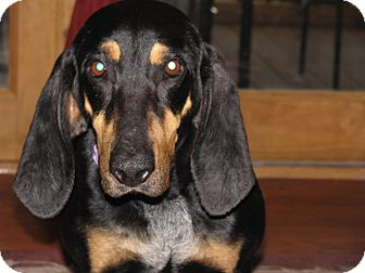 Black and Tan Coonhound Mix Dog for adoption in Bluff city, Tennessee - CELIA