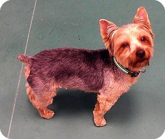 Yorkie, Yorkshire Terrier Mix Dog for adoption in Waldorf, Maryland - Rico