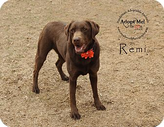 Labrador Retriever Dog for adoption in Bolivar, Tennessee - Remi