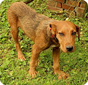 Irish Terrier Mix Dog for adoption in Harrisonburg, Virginia - Desmond