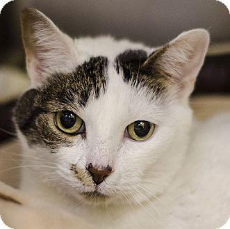 Domestic Shorthair Cat for adoption in Adrian, Michigan - Princess