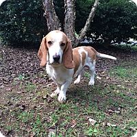 Adopt A Pet :: Cooper - Columbia, SC