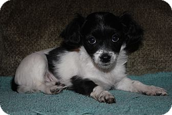 Terrier (Unknown Type, Small)/Poodle (Miniature) Mix Puppy for adoption in Tucson, Arizona - Elsie