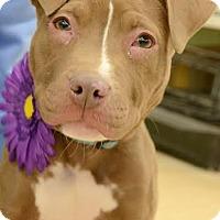 Adopt A Pet :: Kona - Rockaway, NJ