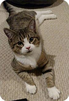 Domestic Shorthair Kitten for adoption in Fredericksburg, Virginia - Percy