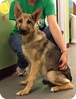 German Shepherd Dog Mix Puppy for adoption in Mt. Pleasant, Michigan - Acadia