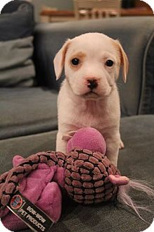 Beagle/Terrier (Unknown Type, Medium) Mix Puppy for adoption in Bedminster, New Jersey - Baci