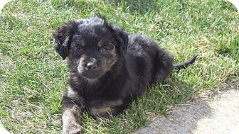Australian Shepherd Mix Puppy for adoption in Naperville, Illinois - Maggy May