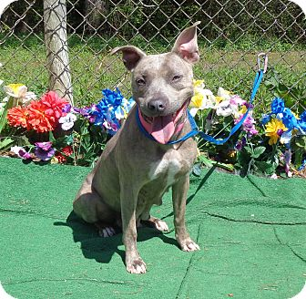 Pit Bull Terrier/Labrador Retriever Mix Dog for adoption in Marietta, Georgia - TEENA - reclaimed