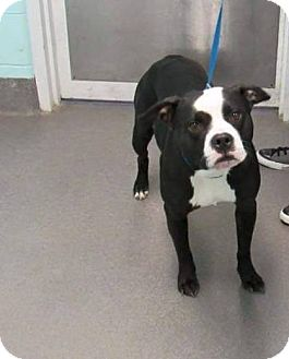 Pit Bull Terrier Mix Dog for adoption in Jackson, New Jersey - Champ
