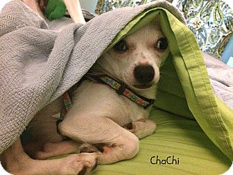 Chihuahua Mix Dog for adoption in Homewood, Alabama - ChaChi