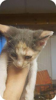 Domestic Shorthair Kitten for adoption in Hainesville, Illinois - Yija