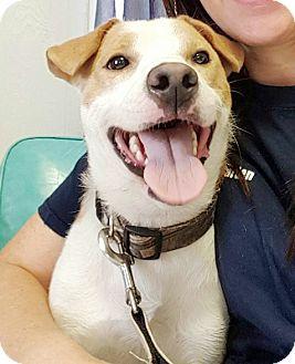 Shiba Inu/Jack Russell Terrier Mix Dog for adoption in Hillsboro, Illinois - Jake - Adoption Pending!