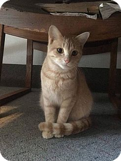 Domestic Shorthair Cat for adoption in Mansfield, Texas - Sunshine