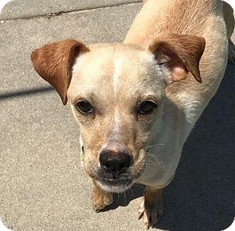 Whippet Mix Dog for adoption in Smithfield, North Carolina - Goose
