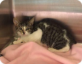 Domestic Shorthair Kitten for adoption in Oviedo, Florida - Halo