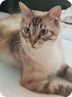 Siamese Cat for adoption in Jacksonville, Florida - Karma