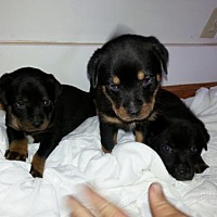 Adopt A Pet :: 3 Black Males - Seaford, DE