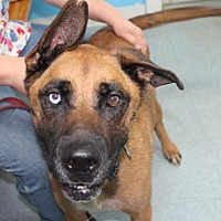 Adopt A Pet :: Bear*FOSTER NEEDED!* - Chicago, IL