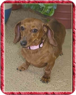 Dachshund Dog for adoption in North Palm Beach, Florida - Zoie
