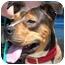 Photo 2 - Hound (Unknown Type)/American Bulldog Mix Dog for adoption in Gilbert, Arizona - Mallory
