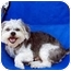 Photo 3 - Poodle (Miniature)/Terrier (Unknown Type, Small) Mix Dog for adoption in Los Angeles, California - VINNIE