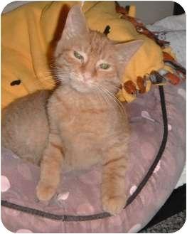 Domestic Shorthair Kitten for adoption in Jackson, Michigan - Izzy