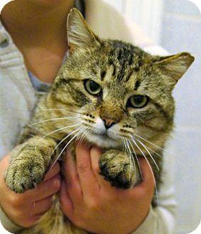 Domestic Shorthair Cat for adoption in Medford, Massachusetts - Wilbur
