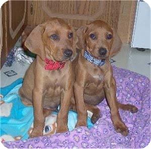 Coonhound (Unknown Type) Mix Puppy for adoption in Washington, Pennsylvania - Coonhound  Mix Puppies