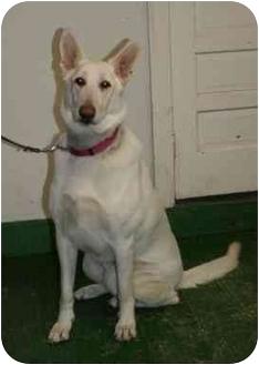 German Shepherd Dog Mix Dog for adoption in Windham, New Hampshire - Max