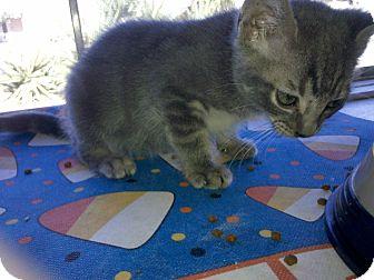 Domestic Shorthair Kitten for adoption in Phoenix, Arizona - BUBBA