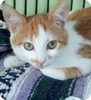 Domestic Shorthair Kitten for adoption in Grasonville, Maryland - Smudge
