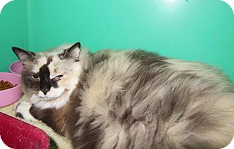 Himalayan Cat for adoption in Laguna Woods, California - Marshmallow